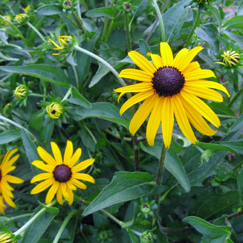 Rudbeckia fulgida var. sullivantii Goldsturm